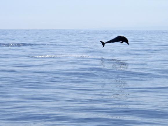 Delfiini kuvattuna Itä-Timorille kuuluvan Atauro-saaren vesillä. Kuva: UN Photo / Martine Perrret